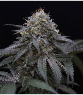 Sugar Breath (Humboldt Seeds)