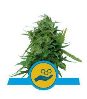 Σπόροι κάνναβης - Solomatic CBD (Royal Queen Seeds)
