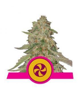 Σπόροι κάνναβης - Sweet Zkittlez (Royal Queen Seeds)