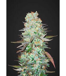 Σπόροι κάνναβης - G14 (FastBuds)