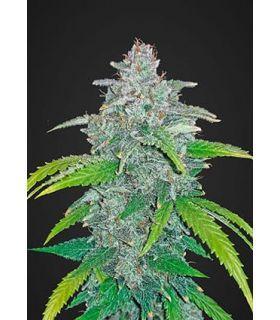 Σπόροι κάνναβης - Blue Dream´matic (Fastbuds)