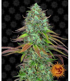 Σπόροι κάνναβης - LSD Auto (Barney's Farm)