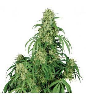 Σπόροι κάνναβης - Calamity Jane Auto (Buddha Seeds)