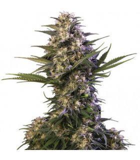 Σπόροι κάνναβης - Kraken (Buddha Seeds)