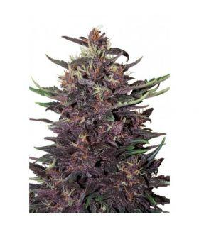 Σπόροι κάνναβης - Purple Kush Auto (Buddha Seeds)