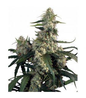 Σπόροι κάνναβης - Quasar (Buddha Seeds)