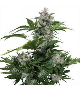 Σπόροι κάνναβης - White Dwarf Auto (Buddha Seeds)