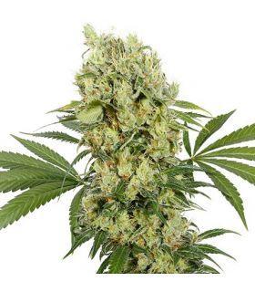 Σπόροι κάνναβης - Medikit CBD (Buddha Seeds)