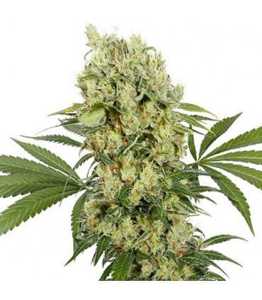 Medikit CBD (Buddha Seeds)