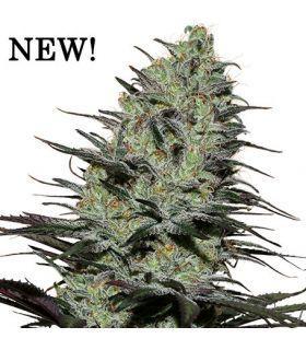 Σπόροι κάνναβης - Morpheus CBD (Buddha Seeds)