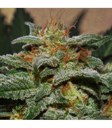 Sweetberry Cough Auto (Garden Of Green)