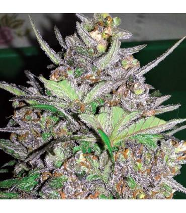 Violet Kush Auto (Garden of Green)