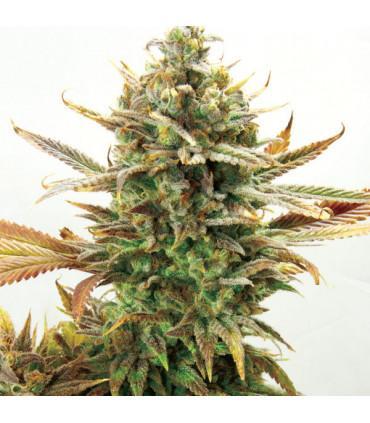 Super Critical Bud CBD (Garden of Green)
