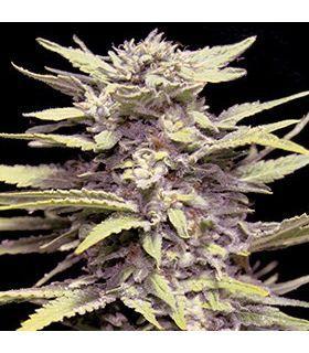 Σπόροι κάνναβης - Blueberry Gum (G13 Labs)