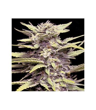Blueberry Gum (G13 Labs)