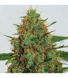 Σπόροι κάνναβης - Cinderella 99 (G13 Labs)