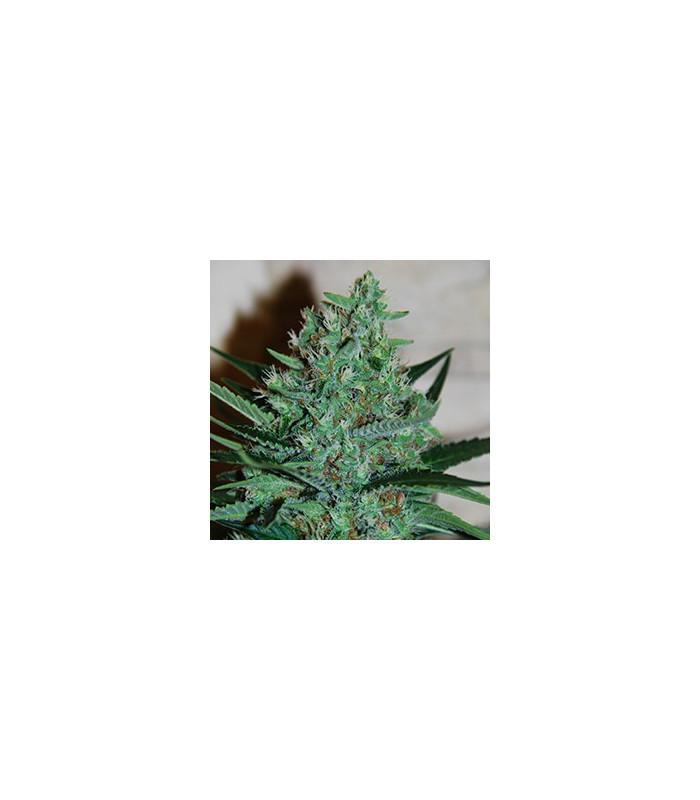 White Lavender (G13 Labs)