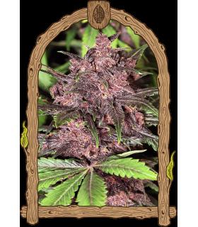 Σπόροι κάνναβης - Black Haze Auto (Exotic Seed)