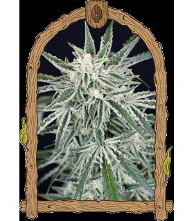 Σπόροι κάνναβης - Green Gummy Auto (Exotic Seed)
