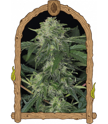 Jungle Fever Auto (Exotic Seed)