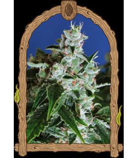 Σπόροι κάνναβης - Sir Jack Auto (Exotic Seed)