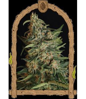 Σπόροι κάνναβης - Green Gummy (Exotic Seed)