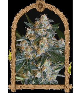 Σπόροι κάνναβης - Lemon Candy (Exotic Seed)