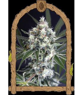 Σπόροι κάνναβης - Medxotic Pure CBD (Exotic Seed)