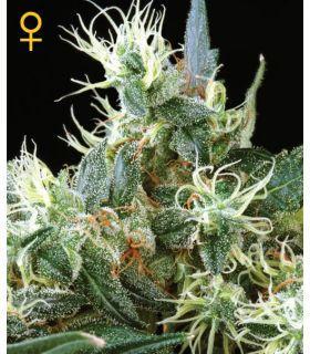 Northern Light Autoflowering (Greenhouse Seeds)