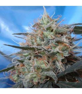 Σπόροι κάνναβης - Congo x Kali China (ACE Seeds)