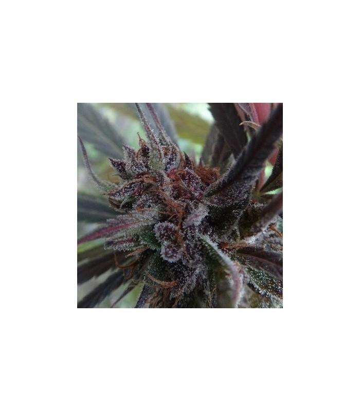 Haze x Kali China (ACE Seeds)