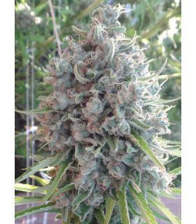 Σπόροι κάνναβης - Killer A5 Haze (ACE Seeds)