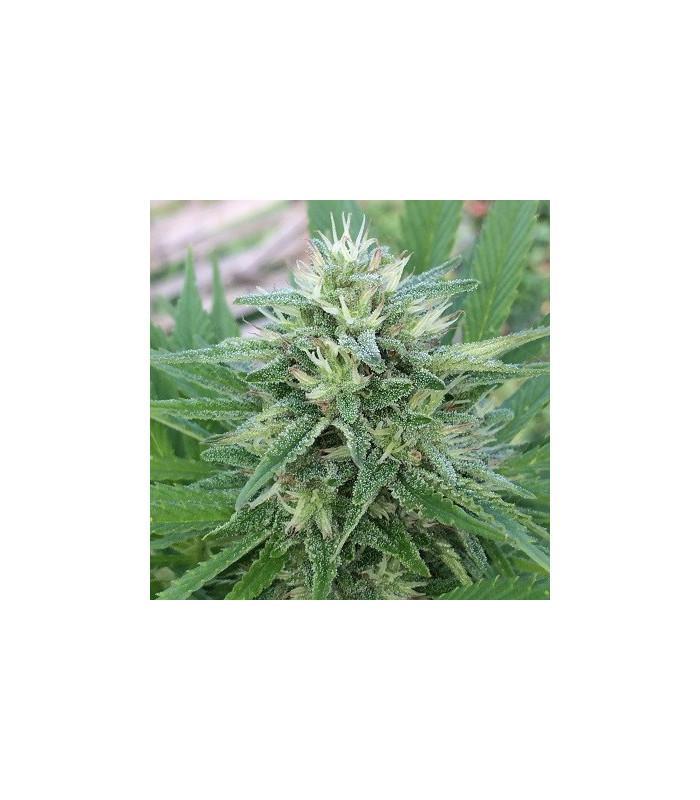 Panama x Bangi Haze (ACE Seeds)