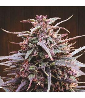 Purple Haze x Malawi (ACE Seeds)