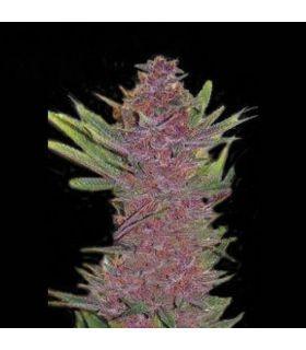 Purple Kush τριμηνίτικο (σποραδικο)