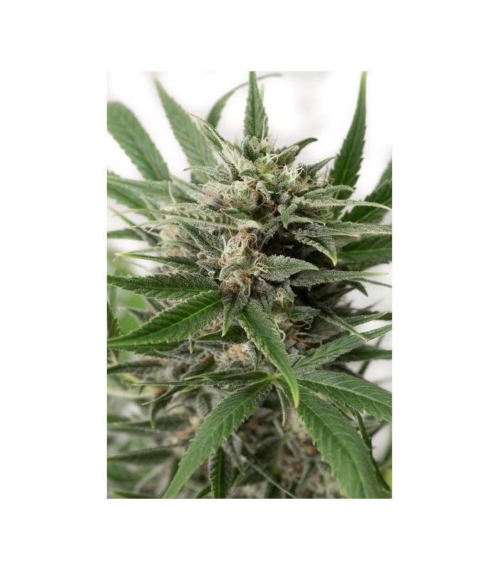 Blue Amnesia XXL Autoflowering (Dinafem Seeds)