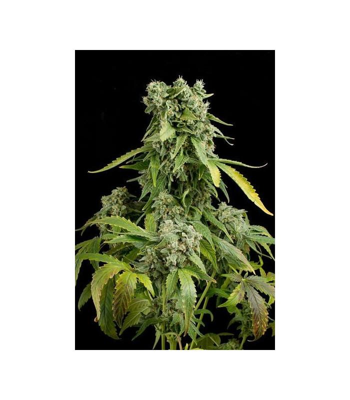 Blue Cheese Autoflowering (Dinafem Seeds)