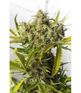Σπόροι κάνναβης - Blue Critical Autoflowering (Dinafem Seeds)
