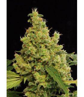 Σπόροι κάνναβης - Blue Hash (Dinafem Seeds)