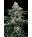 Orange Juice (Dinafem Seeds)