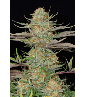 Sweet Deep Grapefruit (Dinafem Seeds) *ΠΡΟΣΦΟΡΑ*
