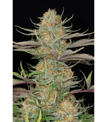 Sweet Deep Grapefruit (Dinafem Seeds) *ΠΡΟΣΦΟΡΑ*
