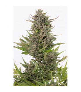 Σπόροι κάνναβης - Critical + Autoflowering CBD (Dinafem Seeds)