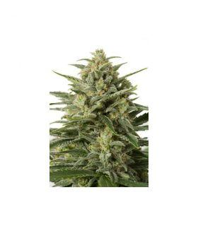 White Widow XXL Autoflowering (Dinafem Seeds)