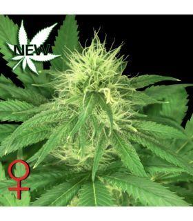 Bubba Kush (Greenhouse Seeds)