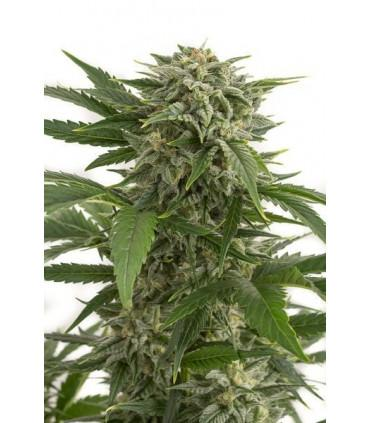Bubba Kush Autoflowering (Dinafem Seeds) *ΠΡΟΣΦΟΡΑ*
