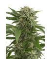 Bubba Kush Autoflowering (Dinafem Seeds)