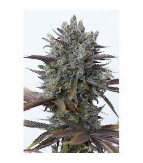 Σπόροι κάνναβης - Purple Orange CBD (Dinafem Seeds)