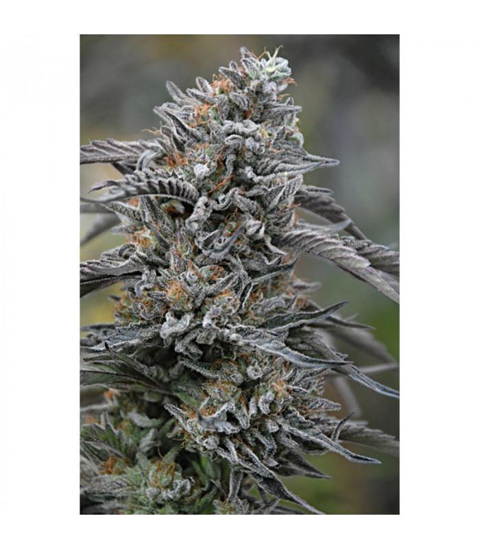 Black D.O.G. (Humboldt Seeds)