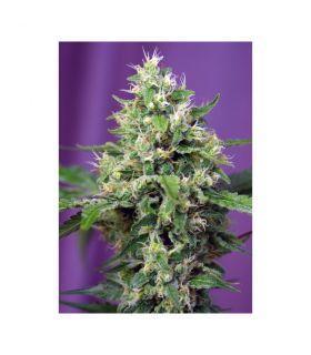 Σπόροι κάνναβης - Blow Mind Auto (Sweet Seeds)